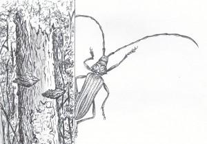 cerambyx - dessin G. Goujon